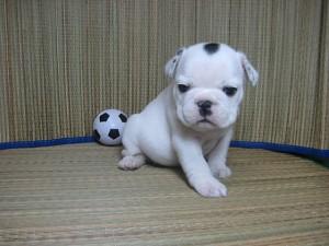 フレンチブルドッグ 子犬 ブリーダー