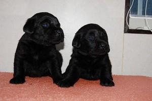 ラブラドール 黒 メス ブリーダー 子犬