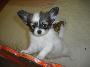 パピヨン 子犬販売 ブリーダー ペットショップ