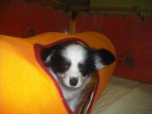 パピヨン ブリーダー 小型犬 子犬販売 専門店 AngelWan