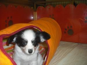 パピヨン 室内犬 小ぶり ブリーダー 子犬販売 専門店