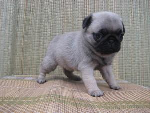 パグ BUHI ブリーダー 子犬販売