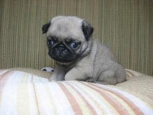 パグ キュート PUG いびき 表情 ブログ 子犬