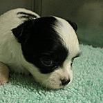 チワワ ブリーダー 小型犬 子犬販売の専門店 AngelWan 神奈川県 茨城県