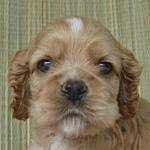 ブリーダー 子犬販売の専門店 AngelWan 神奈川県