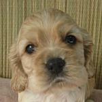 ブリーダー 子犬販売の専門店 AngelWan アメリカンコッカースパニエル