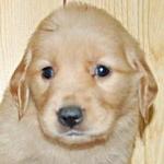 ゴールデンレトリバー ブリーダー 子犬販売の専門店 AngelWan 横浜市泉区