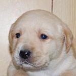 ラブラドールリトリバー ブリーダー 子犬販売の専門店 AngelWan 神奈川県