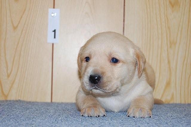 ぷにゅぷにゅのラブラドールレトリバーの子犬