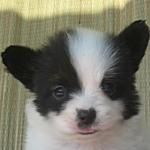 パピヨン ブリーダー 子犬販売専門店 AngelWan