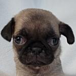 ブリーダー 子犬販売の専門店 AngelWan パグ 小ぶり
