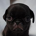 ブリーダー 黒パグ 子犬販売の専門店 AngelWan 神奈川県