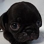 ブリーダー 子犬販売の専門店 AngelWan パグ ブラック