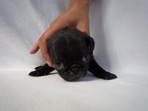ブリーダー 神奈川県 子犬販売 ペットショップ パグ 飼いたい 募集