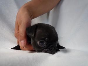 ブリーダー 飼い主様募集 ペット通販 仔犬 小ぶり 健康 人気 安心