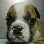 ブリーダー 子犬販売の専門店 AngelWan