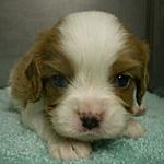 キャバリア ブリーダー 子犬販売の専門店 AngelWan