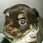 ブリーダー 子犬販売の専門店 AngelWan チワワ チョコタン&ホワイト