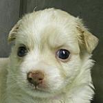 ロングコート チワワ ブリーダー 子犬販売の専門店 AngelWan ペットショップ