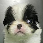 狆 ブリーダー 子犬販売の専門店 AngelWan