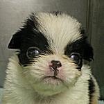 子犬販売の専門店 AngelWan ブリーダー 狆