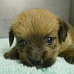 ノーフォークテリア ブリーダー 子犬販売の専門店 AngelWan