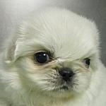 ブリーダー 子犬販売の専門店 AngelWan ペキニーズ