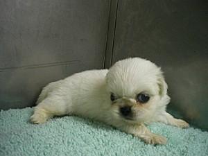 ペキニーズ 中国皇帝 寵愛 子犬 販売 ブリーダー ペットショップ 通販
