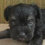 ブリーダー 子犬販売の専門店 AngelWan ミニチュアシュナウザー B&S