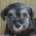 ブリーダー 子犬販売の専門店 AngelWan ミニチュアシュナウザー S&P