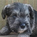 ミニチュアシュナウザー ソルト&ペッパー 子犬販売の専門店AngelWan ブリーダー