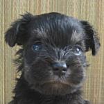 子犬販売の専門店AngelWan ブリーダー ペットショップ シュナウザー