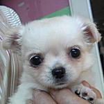 ブリーダー 子犬販売の専門店 AngelWan 横浜 東京 湘南 藤沢 鎌倉 茅ヶ崎