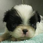 子犬販売の専門店AngelWan ブリーダー ペットショップ 横浜 狆