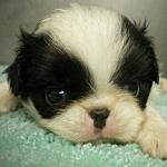 子犬販売の専門店AngelWan ブリーダー 狆 神奈川 東京 千葉 さいたま