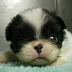 子犬販売の専門店 AngelWan 狆 ブリーダー 日本 横浜