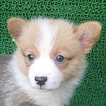 子犬販売の専門店 AngelWan ブリーダー コーギー 横浜