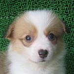 ブリーダー 子犬販売の専門店 AngelWan 横浜 コーギー