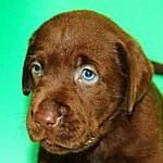 ブリーダー 子犬販売の専門店 AngelWan ラブラドール・レトリバー