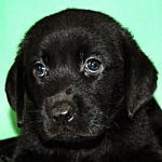 ブリーダー 子犬販売の専門店 AngelWan 横浜 ラブラドール
