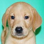 ブリーダー 子犬販売の専門店 AngelWan 横浜 ラブラドール・レトリバー