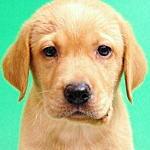 ブリーダー 子犬販売の専門店 AngelWan 横浜 ラブラドールレトリバー
