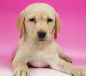 ブリーダー 子犬販売の専門店 AngelWan ラブラドール・レトリバー 横浜