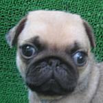 ブリーダー 子犬販売の専門店 AngelWan 横浜 パグ フォーン