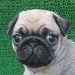 ブリーダー 子犬販売の専門店 AngelWan パグ オス