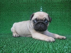 ブリーダー 子犬販売の専門店 AngelWan ペットショップ 鼻ぺちゃ パグ ブルドッグ