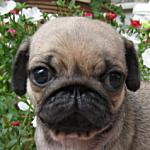 ブリーダー 子犬販売の専門店 AngelWan パグ