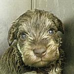 ブリーダー 子犬販売の専門店 AngelWan ミニチュアシュナウザー