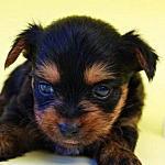 ヨーキー ブリーダー 子犬販売の専門店 AngelWan 横浜 ペットショップ