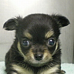 ブリーダー 子犬販売の専門店 AngelWan 横浜 チワワ